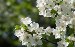 Virágzó faág