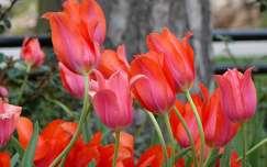 Piros tulipánok