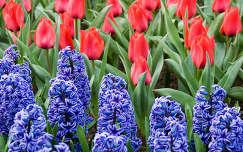 Jácintok és tulipánok