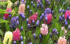 tavaszi virág fürtösgyöngyike jácint