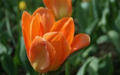 Tavaszi virágok Fotó:Gergely Zsuzsanna