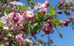 Diszcseresznyefa-virág