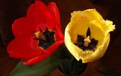 Tulipán. Fotó: Csonki