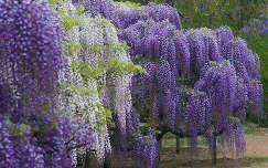 Virágzó akácok