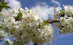Virágzó gyümölcsfa, Sopron, Magyarország
