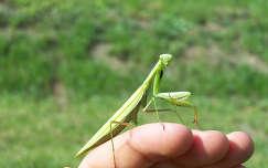 rovar imádkozósáska