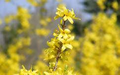 aranyeső tavaszi virág