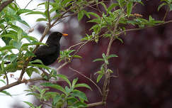 madár rigó feketerigó