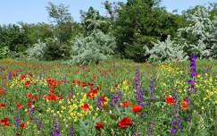 Tavaszi erdfőszél