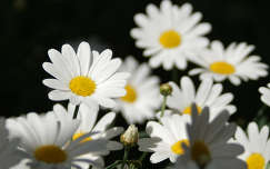 margaréta nyári virág