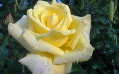Sárga rózsa. Fotó: Csonki