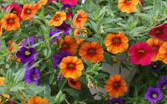 nyári virág petúnia
