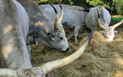 Szarvasmarhák Ópusztaszeren