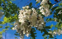 Virágzó akác. Fotó: Csonki