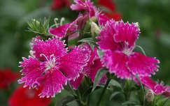 nyári virág szegfű