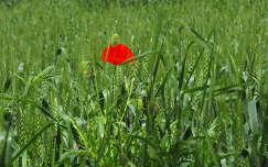 gabonaföld kalász vadvirág pipacs