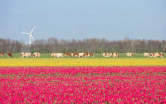 Swifterbant, Hollandia, tulipán, tehén, szélturbina