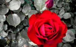 rózsa virág szirom bimbó