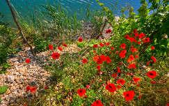 kavicsos tó tópart csepel szigetszentmiklós pipacs virág