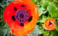 pipacs virág vadvirág