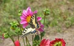 Édasanyám pillangója