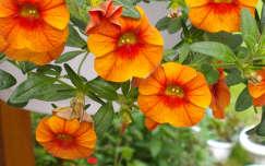 Törpe petunia