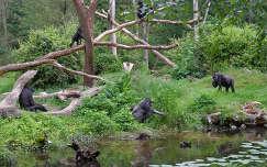 Gorilla család, Hollandia