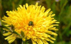 pitypang rovar rózsabogár vadvirág