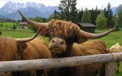 Skót felföldi marha Ausztriában