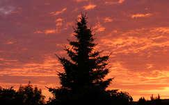 Fenyő naplementében