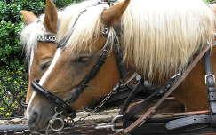 Osztrák lovak St.Wolfgangban