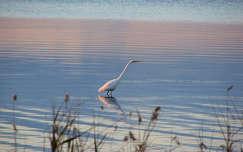 vizimadár tó naplemente kócsag