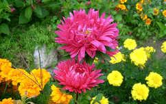 őszirózsa nyári virág