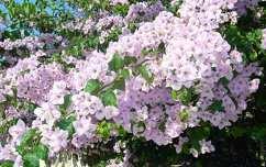 A szigetvilág jellegzetes virága a Bougainvillea (Murvafürt)
