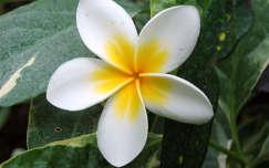Napsugár virág (Frangipáni)