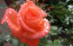 Rózsa Fotó:Csonki