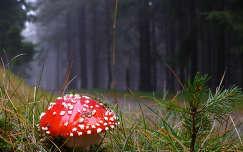 gomba galóca út erdő