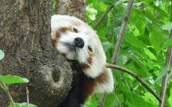 Vörös panda a budapesti állatkertben