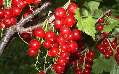 gyümölcs ribizli