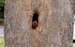 Egy szines pillanat. Papagáj Ausztráliában