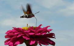 rézvirág nyári virág lepke rovar kacsafarkú szender