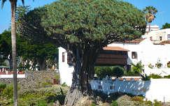 Drago, a több mint 1000 éves sárkányfa-Tenerife