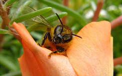 méhecske munka közben egy kukacvirágon