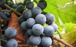 szőlő gyümölcs