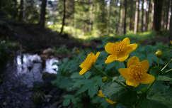tavaszi virág erdő vadvirág gólyahír