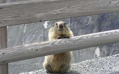 Mit hoztál? -kérdi a Grossglockner mormotája a Pasterze gleccsernél