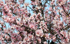 Mandula fa virága
