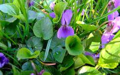 tavaszi virág vadvirág ibolya