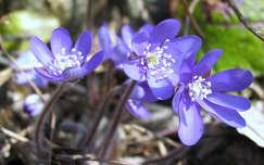 Alpesi virág