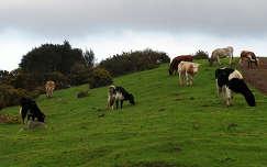 Madeirai tehenek